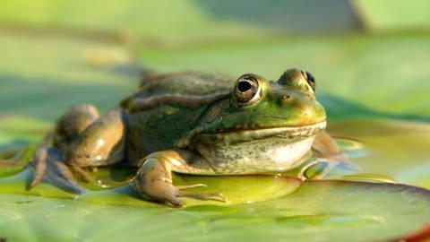 Frosch (Foto: Imago, imago images/Ardea)