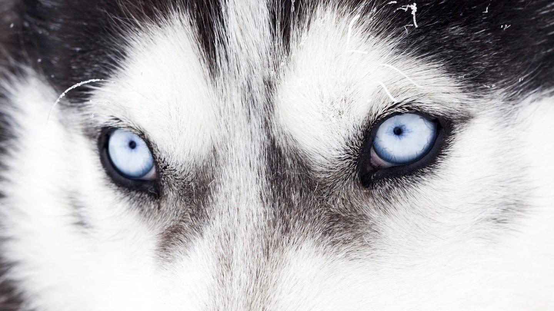 Die blauen Augen eines Huskys: Wie wurde der Wolf zum Hund? (Foto: Imago, imago/Panthermedia)