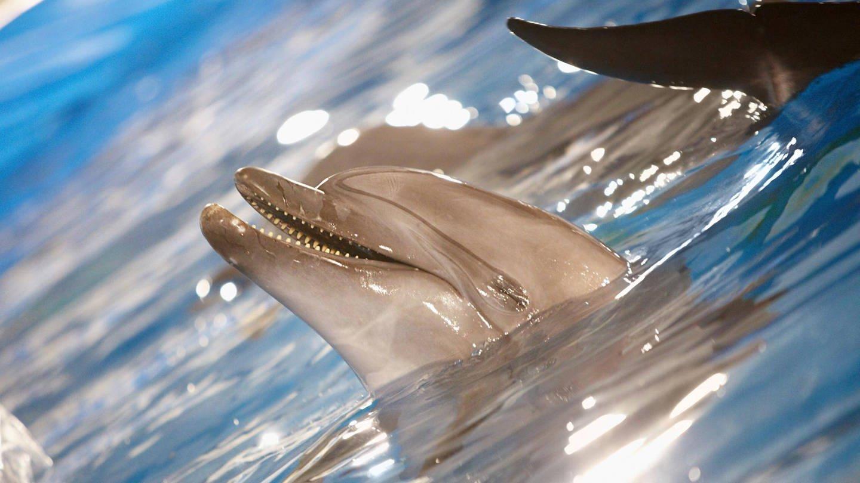 Delfine haben zum Atmen ein Blasloch (Foto: Imago, imago/Panthermedia)