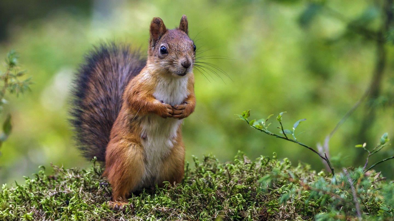 Eichhörnchen (Sciurus vulgaris) sitzt aufrecht auf Moos (Foto: Imago, xblickwinkel/McPHOTO/R.xMuellerx)