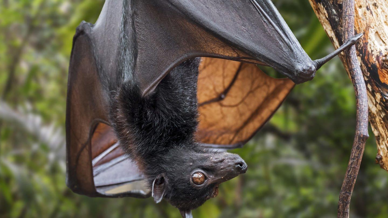 Fledermaus hängt an einem Baum: Höchstwahrscheinlich ist das Coronavirus von einer Fledermaus auf den Menschen übergesprungenViele Krankheiten sind so entstanden: Aids, Tollwut, Malaria, Ebola, die Pest und Tuberkulose. Man nennt sie