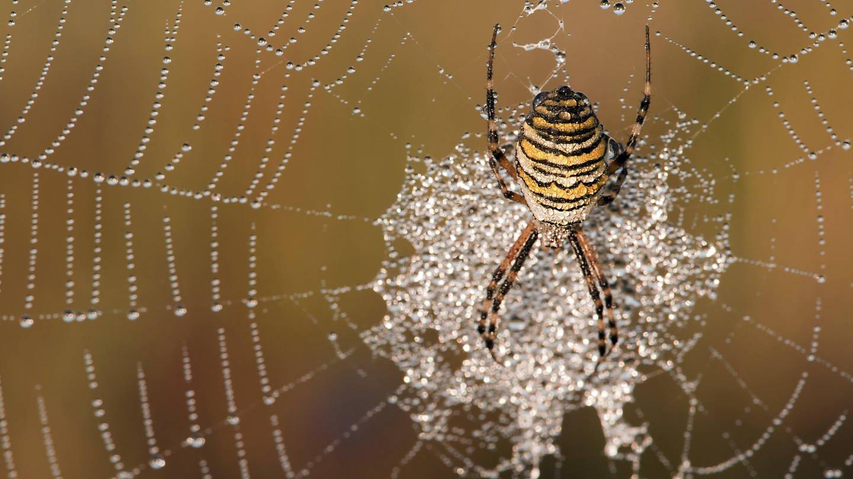 Wespenspinne (Argiope bruennichi). Weibchen im Netz mit Morgentau (Foto: Imago, imago/blickwinkel/AGAMI/H. Bouwmeester)