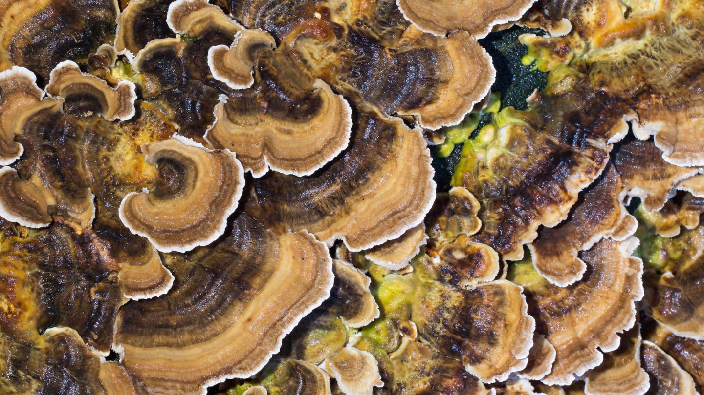 Schmetterlingstramete Trametes versicolor (Foto: Imago, imageBROKER/Wilfried Martin)