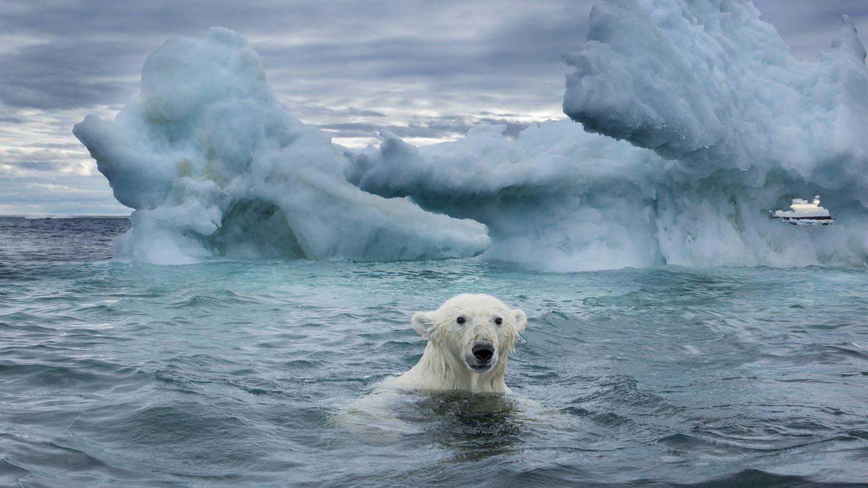 Ein Eisbär schwimmt in der Repulse Bay / Kanada nahe eines schmelzenden Eisbergs (Foto: Imago, imago images / Danita Delimont)