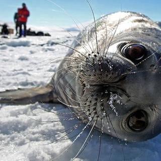 Etwa 14.000 verschiedene Tierarten leben im Weddellmeer - Forscher und Naturschützer wollen, dass das so bleibt. (Foto: picture-alliance / dpa, picture-alliance / dpa -)