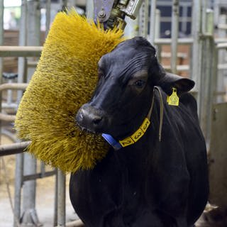 Im Stall der Lehr- und Versuchsanstalt Hofgut Neumühle  Pfalz können sich die Kühe an einer rotierenden Bürste massieren lassen (Foto: Imago, imago images / Werner Schmitt)