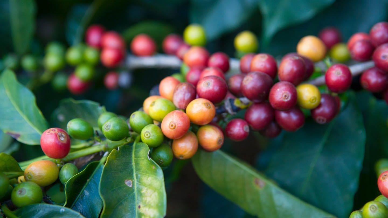 Kaffeestrauch in Brasilien (Foto: Luca Siermann)
