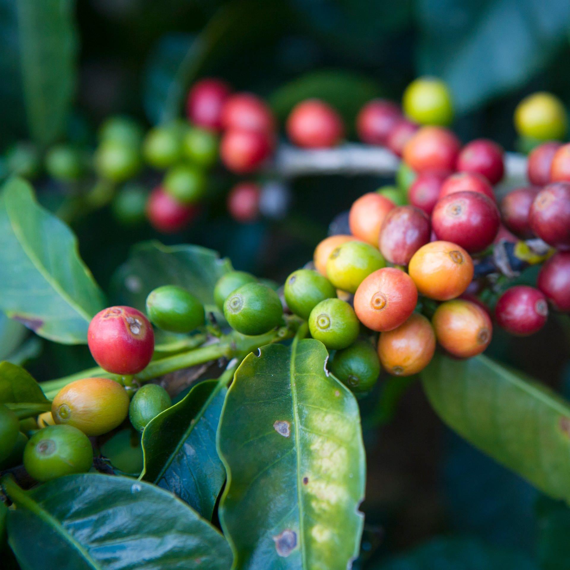 Vielfältige Kaffeesorten – Mehr als Arabica und Robusta