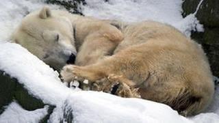 Eisbär im Zoo (Foto: picture-alliance / dpa, picture-alliance / dpa - Daniel Naupold)