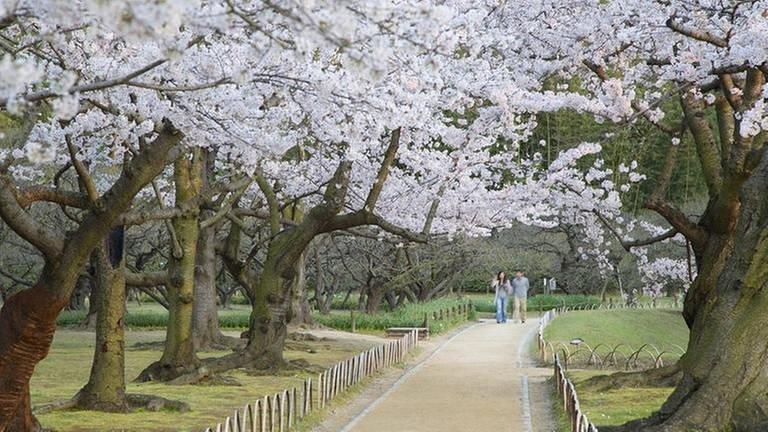 Spaziergang unter blühenden Kirschbäumen im Koraku-en-Garten in Okayama / Japan (Foto: picture-alliance / dpa, picture-alliance / dpa -)
