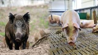 Bildmontage. Ein Wildschwein in freier Natur und ein Hausschwein im Stall (Foto: SWR, picture-alliance / dpa - Gregor Fischer, Uwe Anspach (Montage SWR))