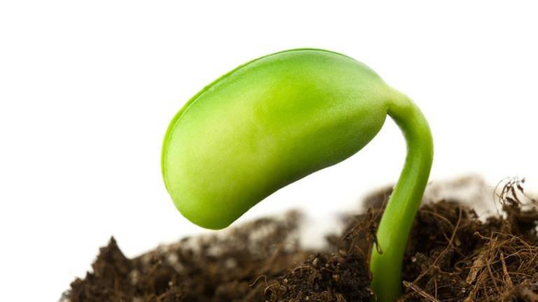 Eine Sojapflanze.