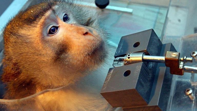 Tierversuch an einem Affen (Foto: SWR, dpa (Archivbild) - Peter Förster)