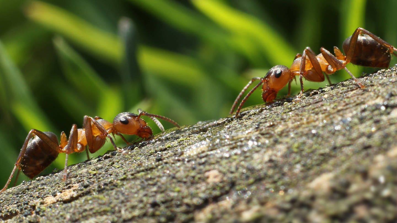 Zwei Ameisen begegnen sich im Wald: Bei Ameisen lassen sich Hygienemaßnahmen beobachten, die Infektionen durch kranke Tiere vermeiden sollen (Foto: Imago, imago images / YAY Images)
