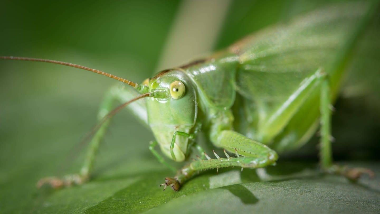 Grünes Heupferd (Foto: Imago, IMAGO / Stefan Rotter)