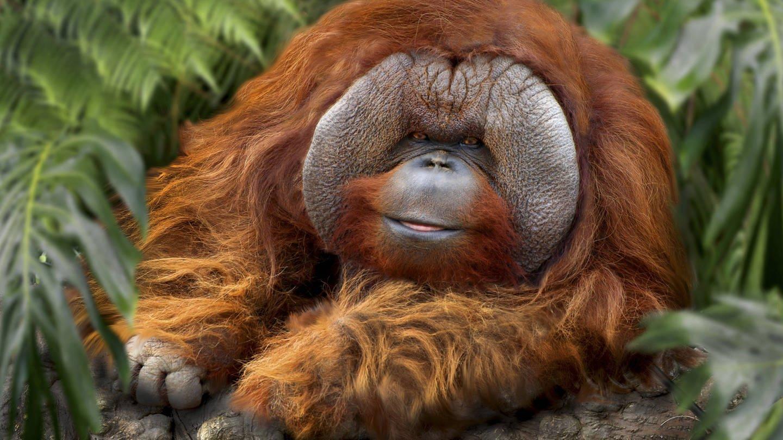 Orang-Utan-Männchen in Indonesien (Foto: Imago, IMAGO / blickwinkel)