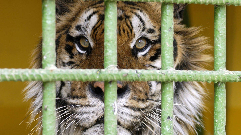 Sibirischer Tiger hinter Gittern (Foto: picture-alliance / Reportdienste, picture alliance / blickwinkel/K. Hennig | K. Hennig)