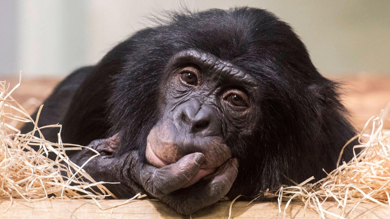 Bonobo-Männchen Kivu (Foto: Imago, imago images/Olaf Wagner)