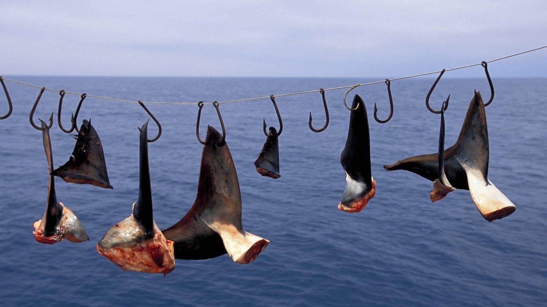 Hai-Finning, auch als Shark-Finning bekannt, in Mexiko