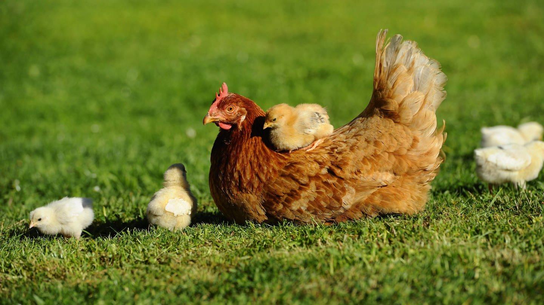 Sind die Hühner gesattelt? Ein Küken sitzt auf einem Huhn