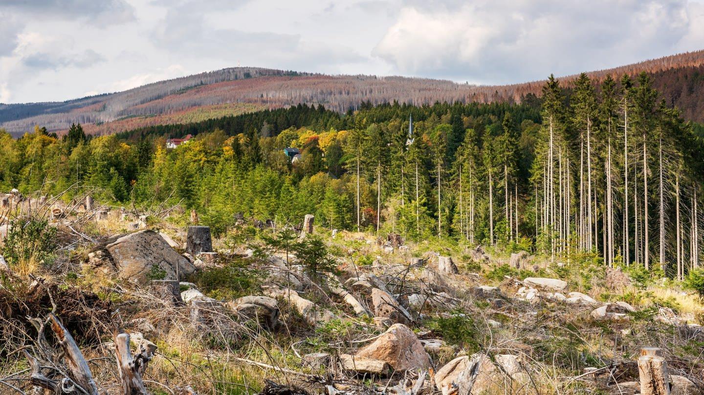 Durch Trockenheit, Windbruch und Borkenkäferbefall großflächig abgestorbene Wälder im Harz (Fichten-Monokultur) (Foto: Imago, imago images/Andreas Vitting)