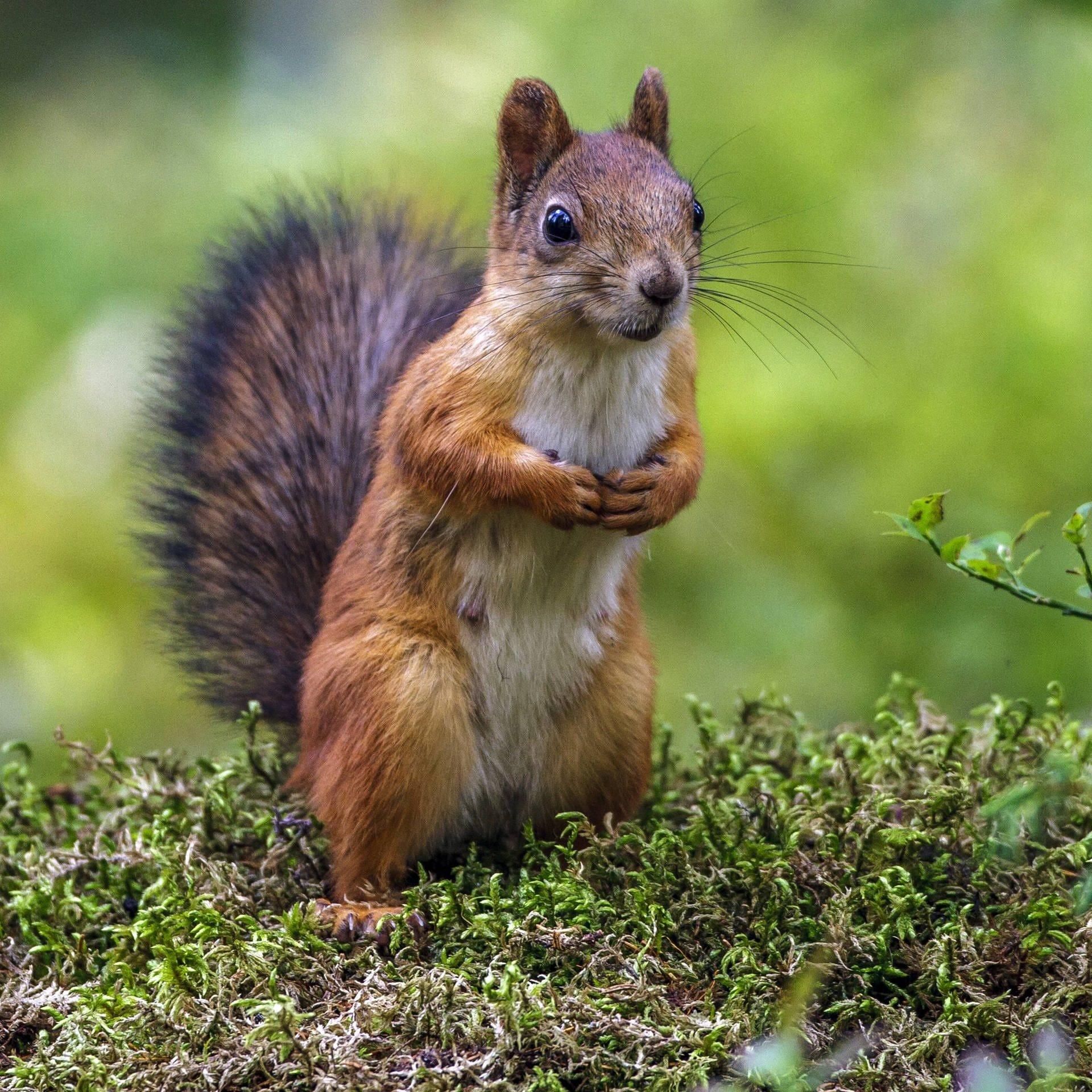 Eichhörnchen - Kobolde des Waldes