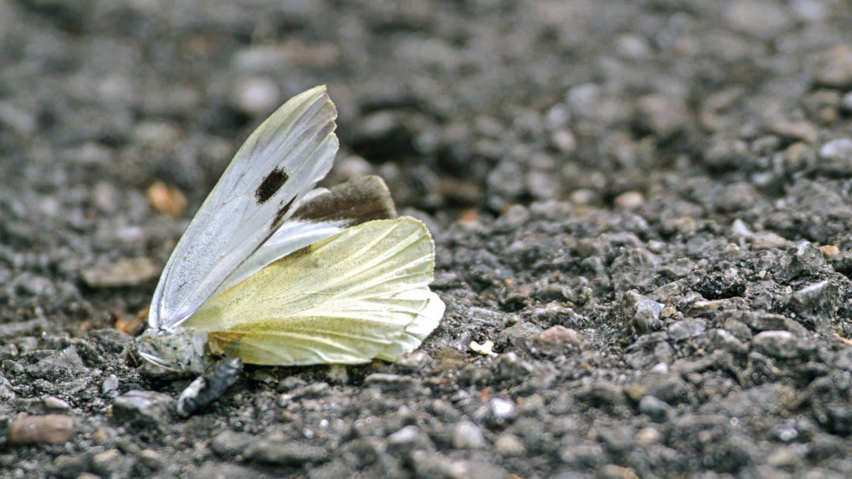 Toter Schmetterling auf asphaltiertem Boden (Foto: Imago, imago/Gottfried Czepluch)