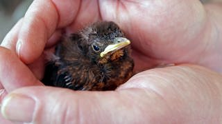 Amsel, Schwarzdrossel (Turdus merula), junge Schwarzdrossel wird schützend in den Händen gehalten. (Foto: picture-alliance / Reportdienste, Picture Alliance)