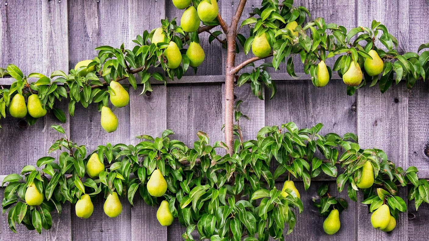 Spalier Birnenbaum an der Wand (Foto: Getty Images, Thinkstock -)