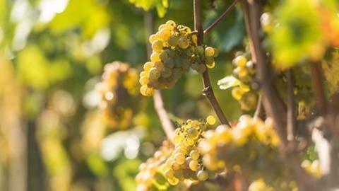 Weinreben mit Trauben (Foto: SWR, Rheinland-Pfalz Tourismus GmbH - Dominik Ketz)