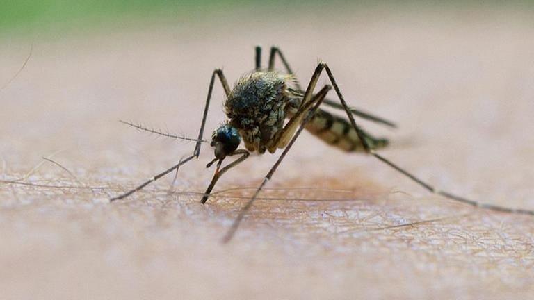 Stechmücke sitzt auf menschlicher Haut und sticht (Foto: dpa Bildfunk, dpa Bildfunk -)