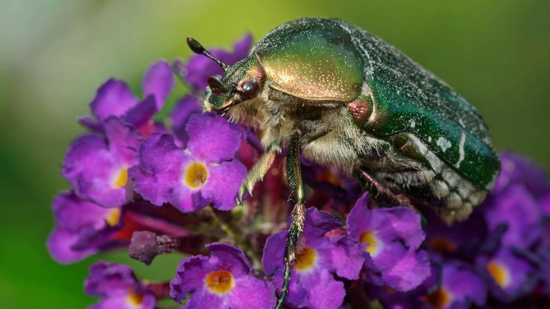 Insekten: Schillernder Rosenkäfer sitzt auf einer Blüte