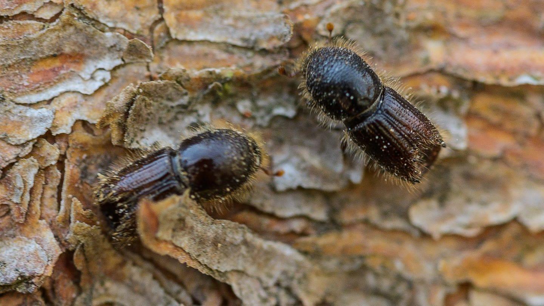Weniger Borkenkäfer: Situation in baden-württembergischen Wäldern entspannt sich etwas
