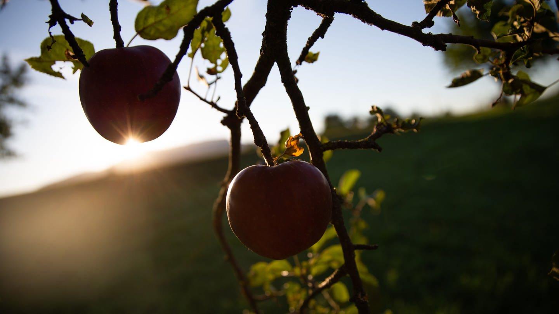 Owen: Zwei rote Äpfel hängen an einem Baum und werden von der aufgehenden Sonne angestrahlt.