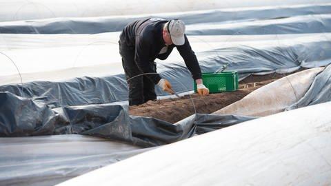 Ein Erntehelfer aus Polen sticht Spargel auf einem Spargelfeld. (Foto: dpa Bildfunk, picture alliance/dpa | Timm Schamberger)