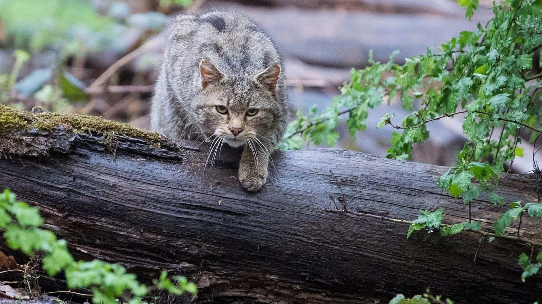 eine Wildkatze im Wildpark Tripsdrill (Foto: dpa Bildfunk, picture alliance/Sebastian Gollnow/dpa)