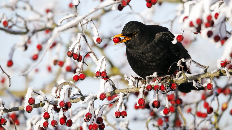 Amsel sitzt auf einem Strauch und hält eine Beere im Schnabel (Foto: Pressestelle, Mike Lane/fotolia / NABU Stunde der Wintervögel)