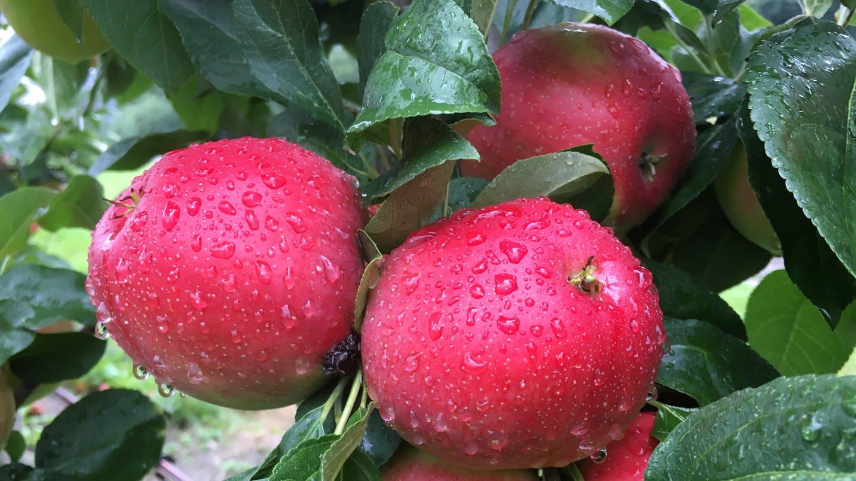 Rote Äpfel der Sorte