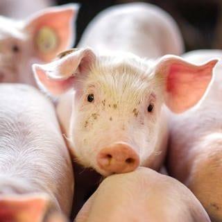 ARCHIV - 21.08.2014, Mecklenburg-Vorpommern, Losten: Ferkel stehen in einer Box in einer Schweinezuchtanlage. Im Dauerstreit um das Tierwohl in der Landwirtschaft stellt das Land am Mittwoch Eckpunkte für eine Reform vor. Kernpunkte seien Schweineställe mit mehr Bewegungsraum für Tiere und eine Tiergesundheitsdatenbank, mit der Betriebe mit auffällig vielen Beanstandungen schneller identifiziert werden können. Die Eckpunkte sollten die Weichen für mehr Tierwohl stellen, aber zugleich die Bedürfnisse der Branche und der Verbraucher berücksichtigen, hieß es vorab. Foto: Jens Büttnerzbdpa +++ dpa-Bildfunk +++ (Foto: picture-alliance / Reportdienste, picture alliance/Jens Büttner/zb/dpa)