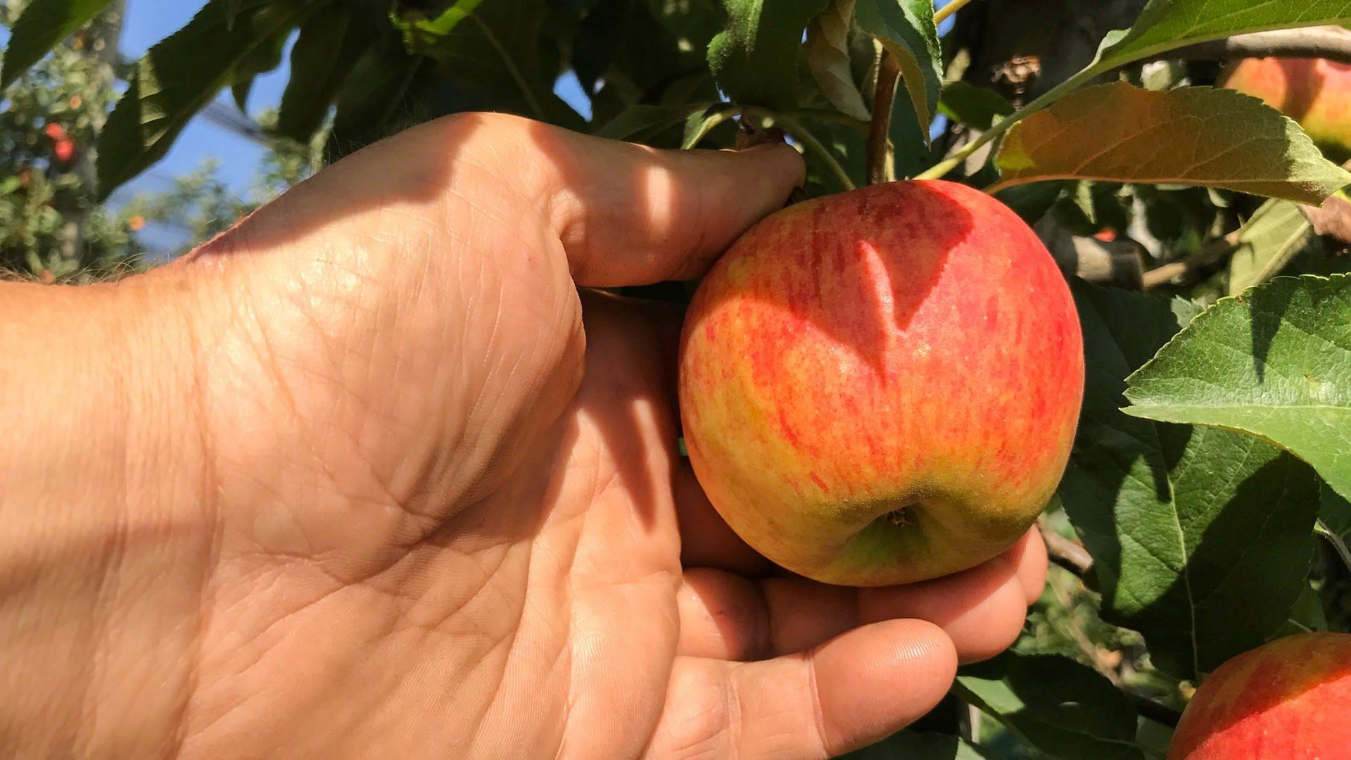 Eine Hand hält einen Apfel, der am Baum hängt. Gesehen bei Obstbauer Albrecht Rembold aus Öhringen-Baumerlenbach