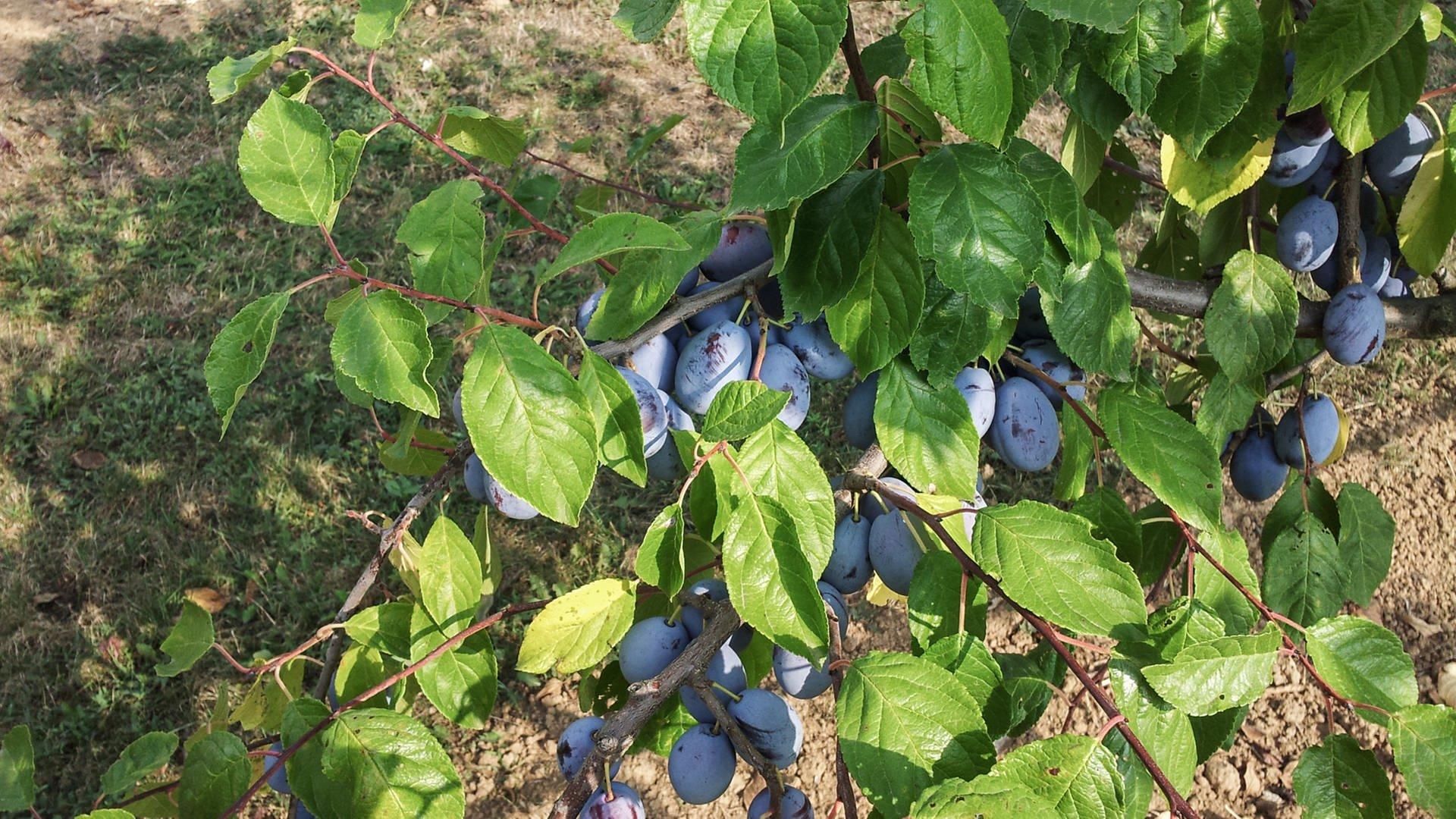 Pflaumen und Zwetschgenfrüchte auf der Obst- und Versuchsanstalt in Heuchlingen