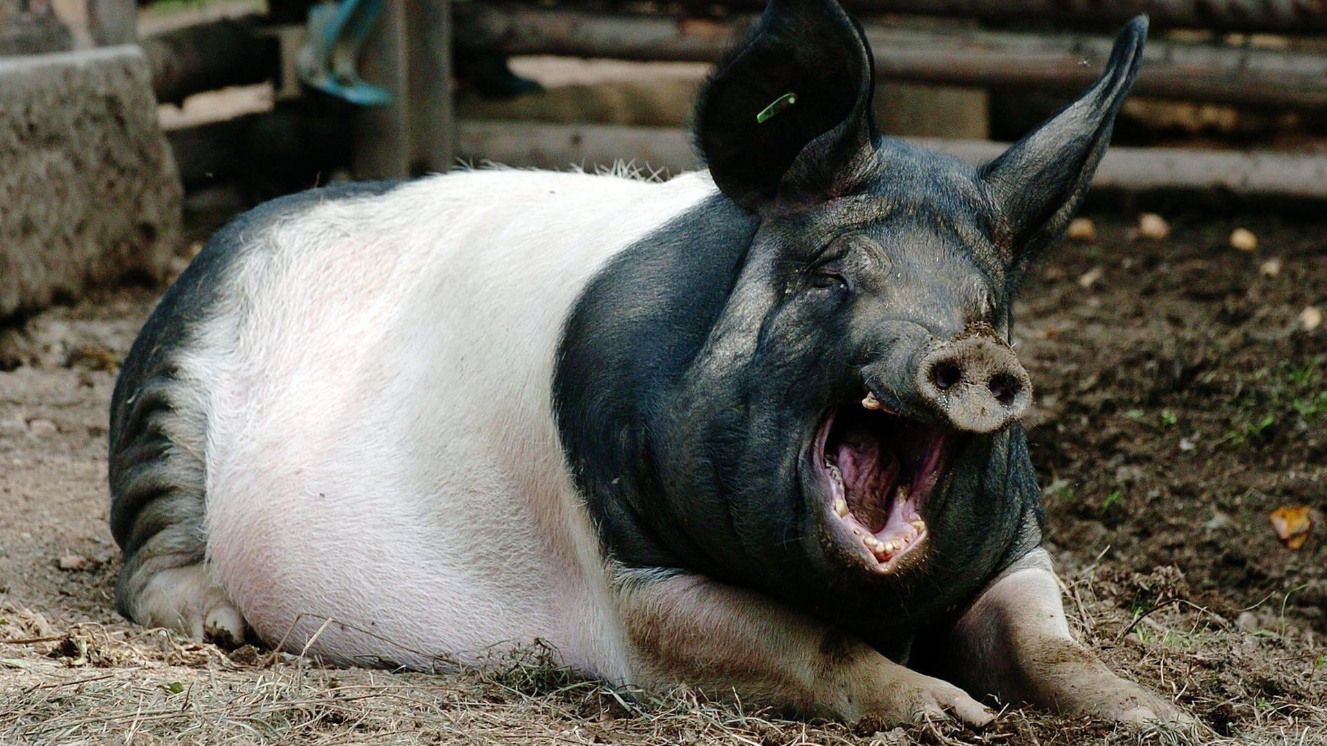 Schwäbisch-Hällisches Hausschwein