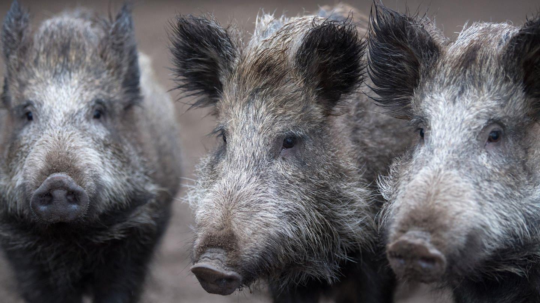 drei wildschweine (Foto: dpa Bildfunk, Ralf Hirschberger)