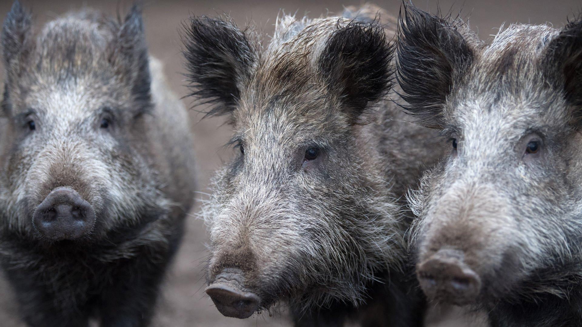 Wildschweingruppe bei Crailsheim von Zug erfasst