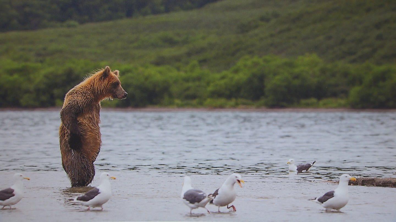 Ein Braunbär steht im Wasser auf seinen Hinterbeinen und beobachtet Wasservögel (Foto: SWR)