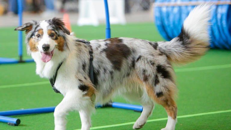 Ein Hund präsentiert sich auf dem Laufsteg auf der Messe