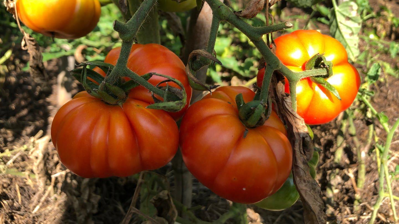 Reife Tomaten am Strauch (Foto: SWR)