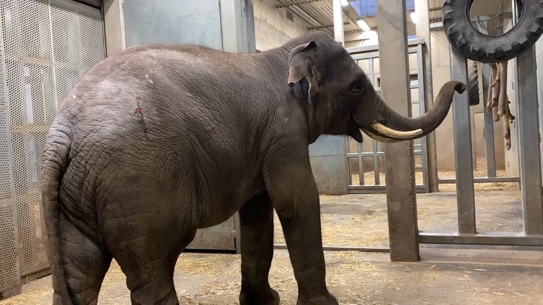 Elefant Namsai im Heidelberger Zoo angekommen (Foto: SWR)
