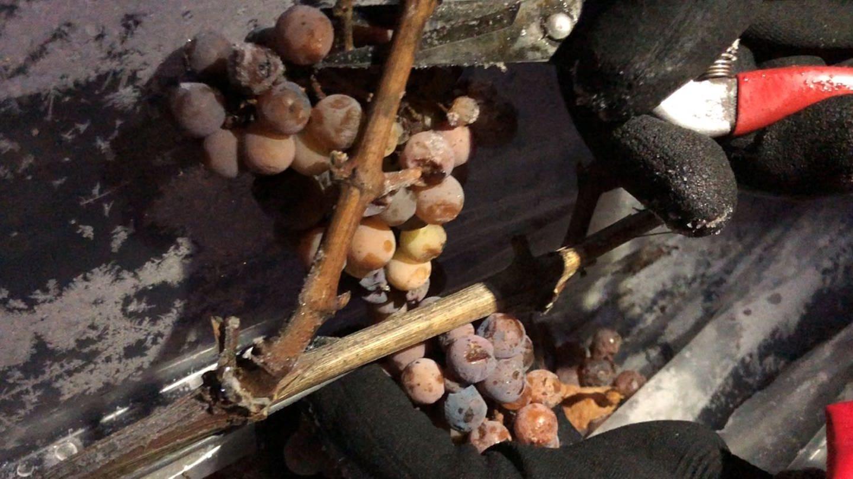 Gefrorene Trauben werden geerntet (Foto: SWR, Martin Rottach)