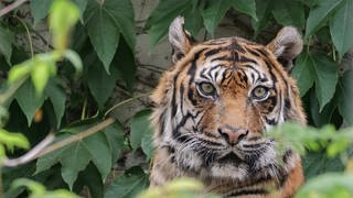 Wilhema-Tigerin Dumai ist tot. (Foto: Foto: Harald Löffler / Eye of the Tiger)
